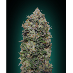 Northern Lights | Feminised, Indoor & Outdoor