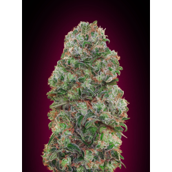 Bubble Gum | Feminised, Indoor & Outdoor