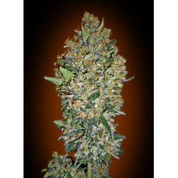 Cheese Berry | Feminised, Indoor & Outdoor