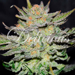 Auto Blue Ace CBD | Feminised, Auto, Indoor & Outdoor