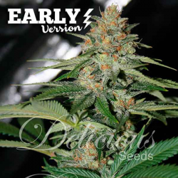 Delicious Candy Early Version | Feminised, Indoor & Outdoor