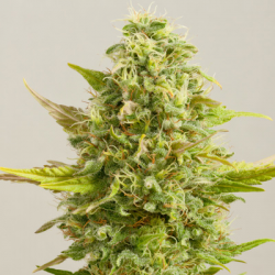 Royal Kush | Feminised, Indoor & Outdoor