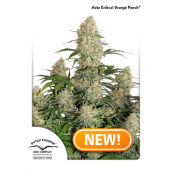 Auto Critical Orange Punch | Feminised, Auto, Indoor & Outdoor