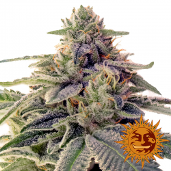 Shiskaberry | Feminised, Indoor & Outdoor