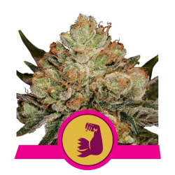 Hulkberry | Feminised, Indoor & Outdoor