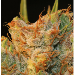 MK-Ultra Bubble | Feminised, Indoor & Outdoor