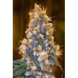 Blue Fire | Feminised, Indoor & Outdoor