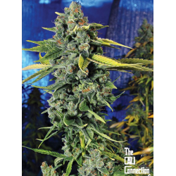Blue Dream Haze | Feminised, Indoor & Outdoor