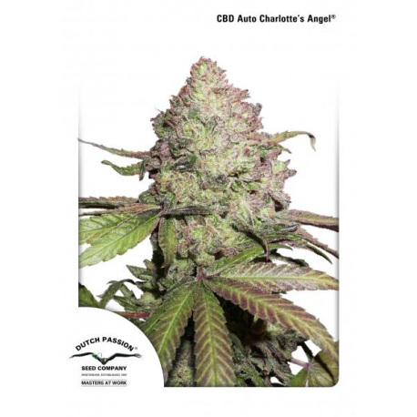 CBD Auto Charlotte's Angel | Feminised, Auto, Indoor & Outdoor