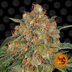 Orange Sherbert | Feminised, Indoor & Outdoor