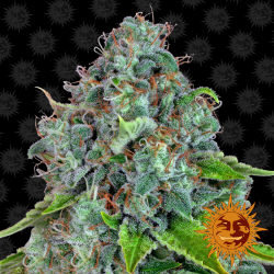 Strawberry Lemonade | Feminised, Indoor & Outdoor