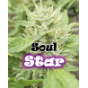 Soul Star | Feminised, Indoor & Outdoor