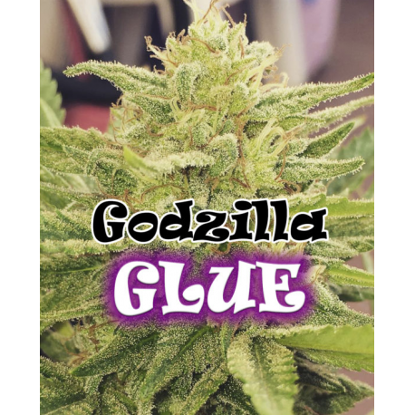 Godzilla Glue | Feminised, Indoor & Outdoor