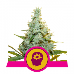 AMG - Amnesia Mac Ganja | Feminised, Indoor & Outdoor