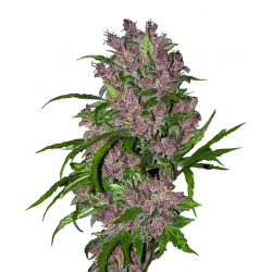 Purple Bud Automatic | Feminised, Auto, Indoor & Outdoor