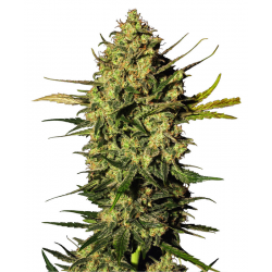 Master Kush Automatic | Feminised, Auto, Indoor & Outdoor