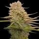 Red Sapphire LE | Feminised, Indoor & Outdoor
