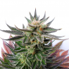 Sativa Dream | Feminised, Indoor & Outdoor