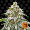 Pink Kush | Feminised, Indoor & Outdoor