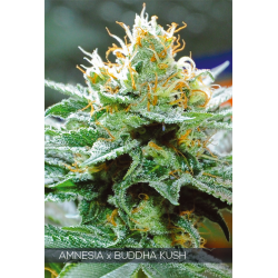 Amnesia x Buddha Kush | Feminised, Indoor & Outdoor