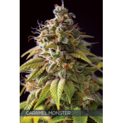 Caramel Monster | Feminised, Indoor & Outdoor