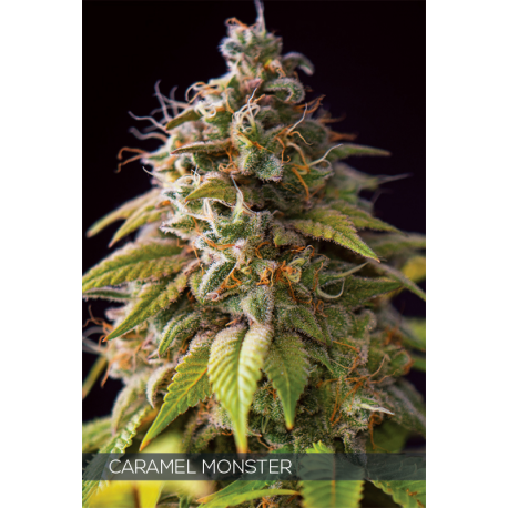 Caramel Monster | Feminised, Indoor & Outdoor