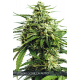 Auto Vision Gorilla | Feminised, Auto, Indoor & Outdoor