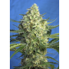 Jack 47 XL Auto | Feminised, Auto, Indoor & Outdoor
