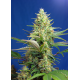 Sweet Pure Auto CBD | Feminised, Auto, Indoor & Outdoor