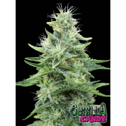 Gorilla Candy | Feminised, Indoor & Outdoor