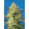 Sweet Cheese XL Auto | Feminised, Auto, Indoor & Outdoor