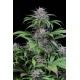 Quick Kush | Feminised, Indoor & Outdoor