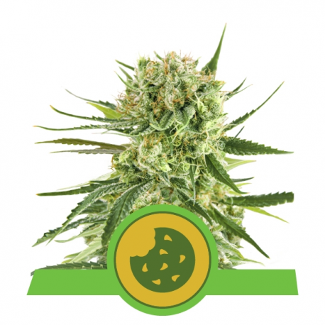 Royal Cookies Automatic | Feminised, Auto, Indoor & Outdoor