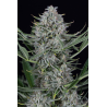 Cookies Autoflowering | Feminised, Auto, Indoor & Outdoor