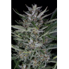 Gorilla Autoflowering | Feminised, Auto, Indoor & Outdoor