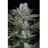 Gorilla CBD | Feminised, Indoor & Outdoor