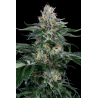 Orange Juice | Feminised, Indoor & Outdoor