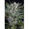 Quick Gorilla | Feminised, Indoor & Outdoor