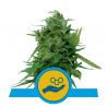 Solomatic CBD | Feminised, Auto, Indoor & Outdoor