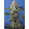 Crystal Candy F1 Fast Version | Feminised, Indoor & Outdoor