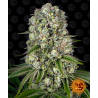 Tropicanna Banana | Feminised, Indoor & Outdoor