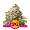 Triple G | Feminised, Indoor & Outdoor