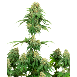 Girl Scout Cookies | Feminised, Indoor & Outdoor