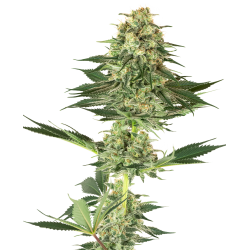 Banana Kush | Feminised, Indoor & Outdoor