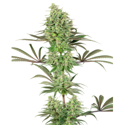 Double Banana Kush | Feminised, Indoor & Outdoor