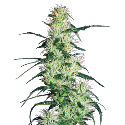 Purple Haze | Feminised, Indoor & Outdoor
