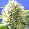 Black Destroyer | Feminised, Indoor & Outdoor