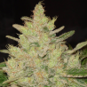 Blueberry Ghost OG | Feminised, Indoor & Outdoor