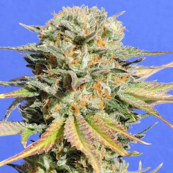 Bruce Banner 3 The Incredible Hulk | Feminised, Indoor & Outdoor