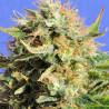 Chronic Lights | Feminised, Indoor & Outdoor